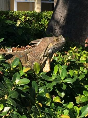 Islander Resort, a Guy Harvey Outpost: Resident Iguana by pool