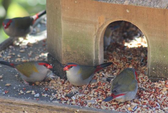 Capers Guest House: birds in feeder
