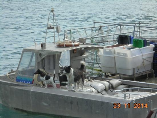 Black Cat Cruises : Dogs at the salmon farm looking out for dolphins