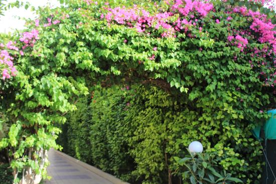 Atlantica Gardens Hotel: Цветущая арка между Антлантик Оазис и Атлантик Гарденс