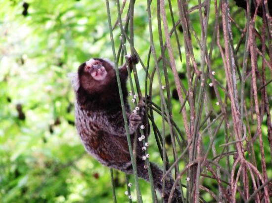 mini jardim botanico:the mini monkeys – Micos – Foto di Botanical Garden (Jardim Botanico