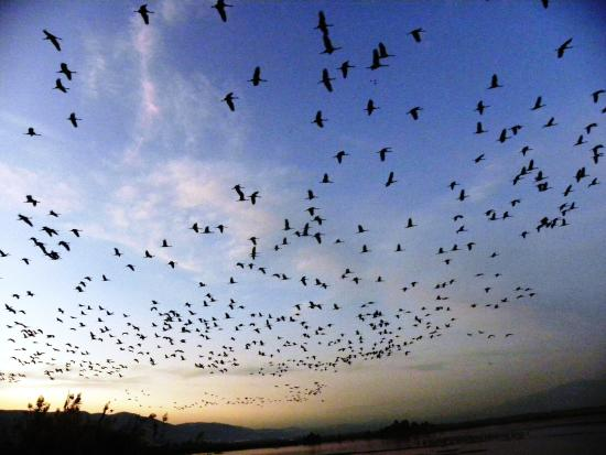 Israel Private Tours: Cranes at sunset. Hulla valley