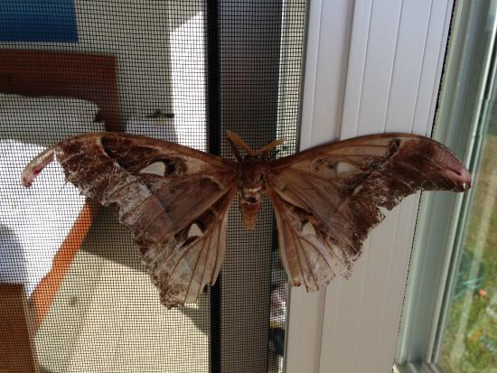 AltitudeOne40: Local moth hanging around for the day!