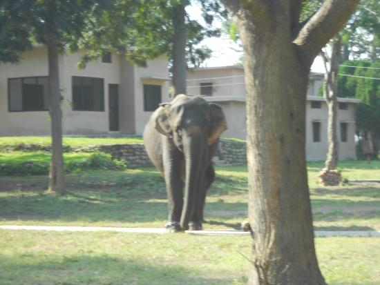 Dhikala Forest Rest House: domestic elephant wandering about the grounds