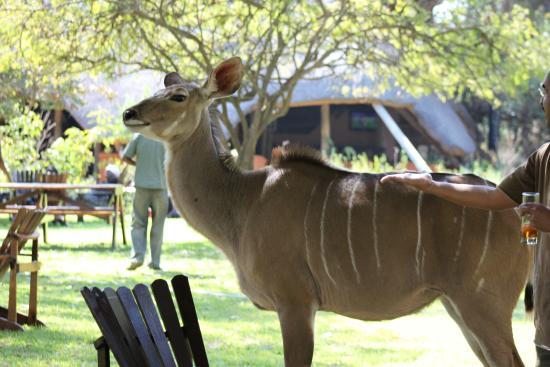Protea Hotel Lusaka Safari Lodge: Female Kudu wondering around the pool area