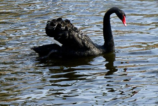 Visakhapatnam Zoo: black duck relaxing its wings above water
