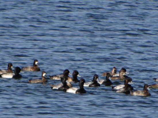 The Celery Fields: Lesser Scaup