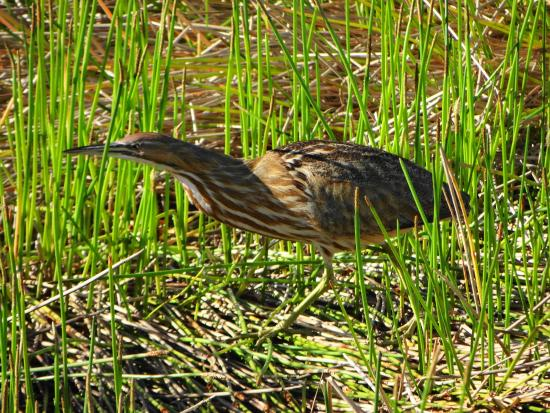 The Celery Fields: American Bittern