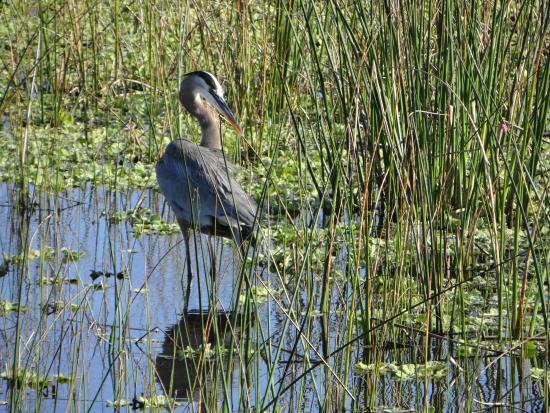 The Celery Fields: Great Blue Heron