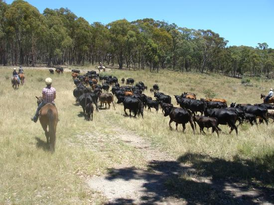 Leconfield: Nothing like a good cattle muster!