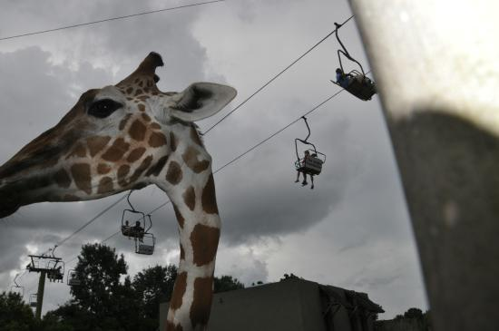 Montgomery, AL: Skyride from the giraffes point of view.