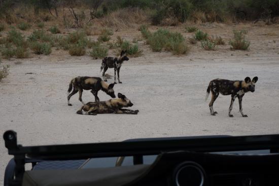 Chitabe Camp: Wilddogs auf der Landebahn