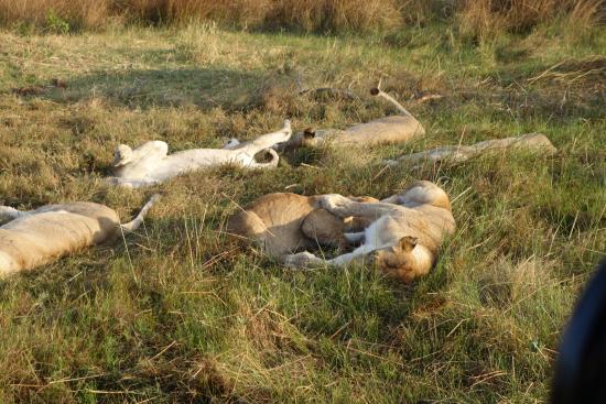 Chitabe Camp: Lions sleeping!
