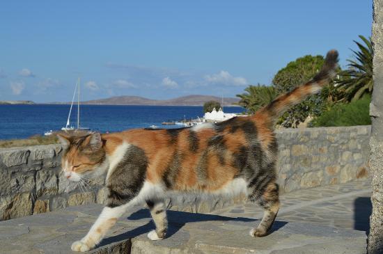 Manoulas Mykonos Beach Resort: our feline friend