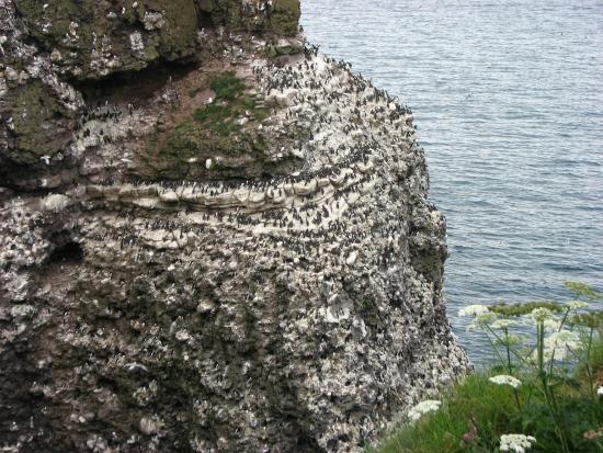 RSPB Fowlsheugh: Thousands of seabirds nesting on the cliffs