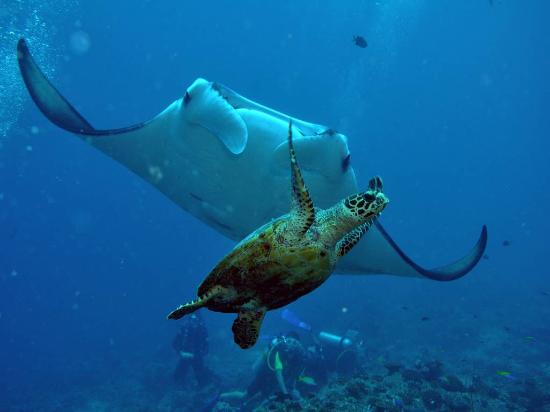 Euro-Divers Club Med Kani: Marine life enjoyed by scuba divers: Mantas and Turtles!