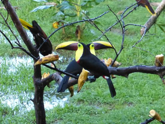 Maquenque Eco-Lodge: Im Garten vor der Frühstücksveranda steht ein Baum, zu dem tägl. mehrere Tucane und Papageien ko