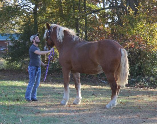 Adairsville, GA: Bonnie our draft horse