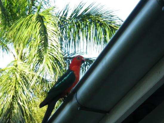 Mooloolah Valley Holiday Houses : Visiting Parrots