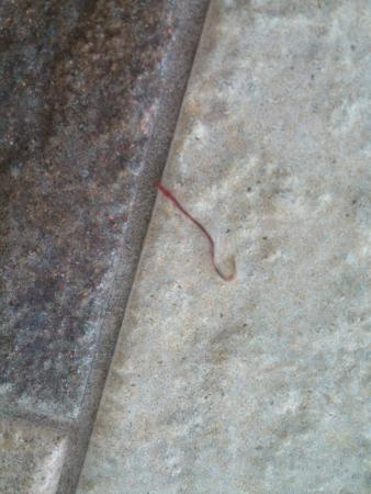 Country Inn & Suites By Carlson, Bloomington West: worm found in pool