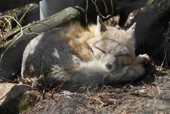 Saskatoon Forestry Farm Park & Zoo: Sleeping fox