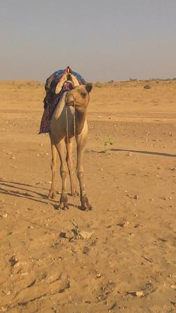 Sam Sand Dunes: Camel waiting for a ride