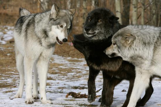 now now you guys picture of yamnuska wolfdog