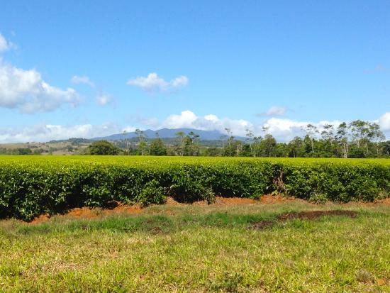 Nerada Tea Plantation: Perfect plantings of wonderful tea.