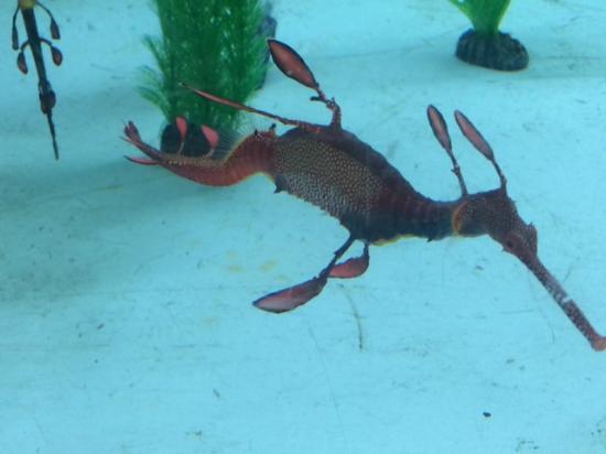 Seahorse World: Seadragon