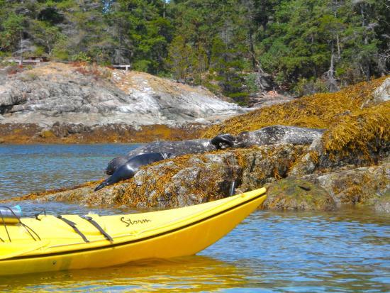 Copeland Islands Marine Provincial Park: Sea Lions