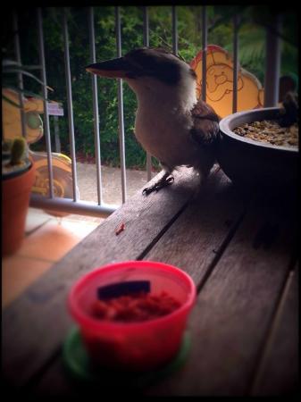 Our resident Seacove Resort Kookaburra enjoying breakfast on our balcony