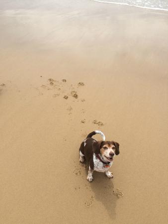 Diamond Beach Resort: Giles enjoying the beach off leash.
