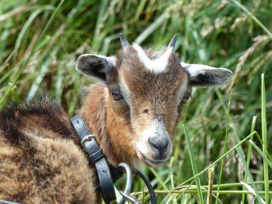 Smiths Farm Holiday Park: Farm animals to feed.