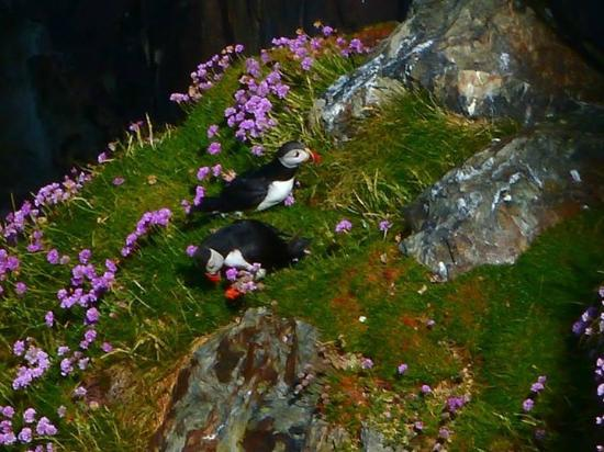 South Stack Cliffs RSPB Reserve: Puffins