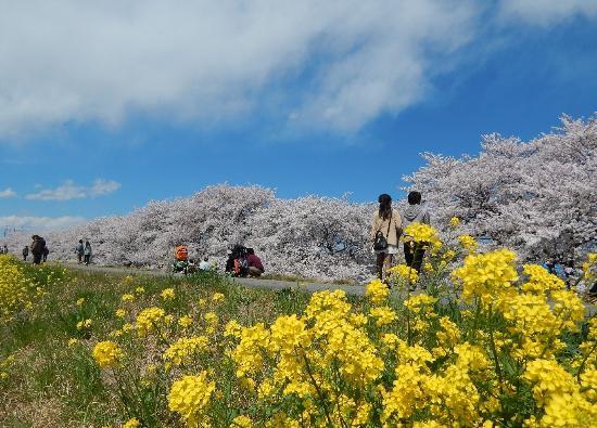 Kumagaya Sakura Tsutsumi