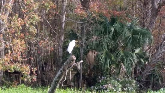 Blue Springs Park Incorporated: snowy egret