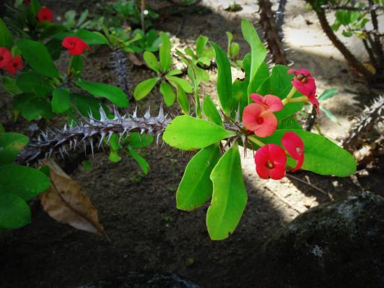 Épine du Christ, Euphorbia milii Jardin-d-eden