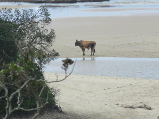 Amapondo Backpackers Lodge: The cow in the beach