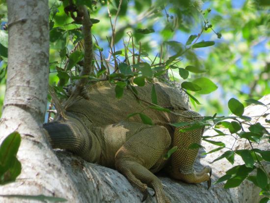 Copalita Ecological Park & Ruins : Iguana