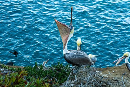 Coastal San Diego Tours to La Jolla & Torrey Pines with TourGuideTim: Pelicans!