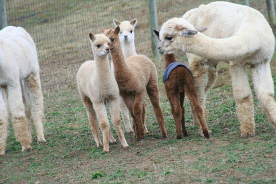 Dreamland Alpacas LLC
