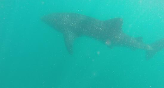 Plongee Toukoul: Whale shark on our second dive...! Whauw!