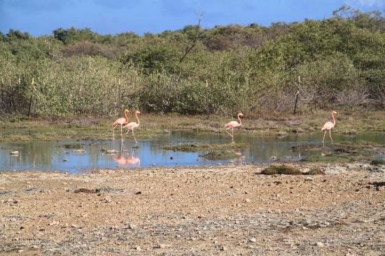 Pink flamingos in bonaire courts at fairfield