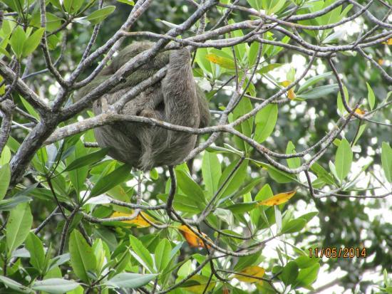 La Loma Jungle Lodge and Chocolate Farm: Sloth on Grounds