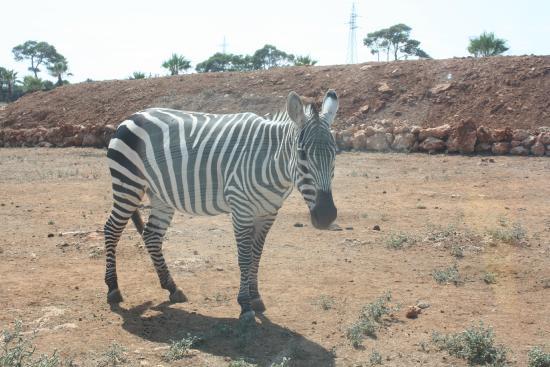 Safari Zoo: Zebra