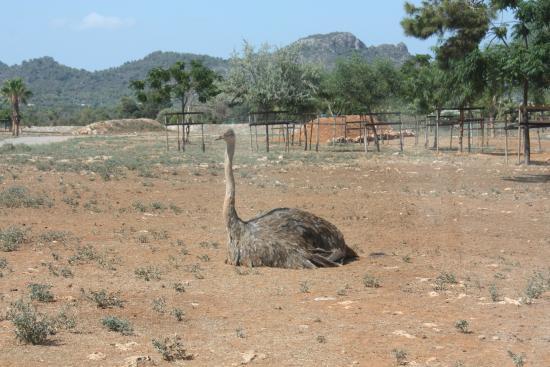 Safari Zoo: Struzzo