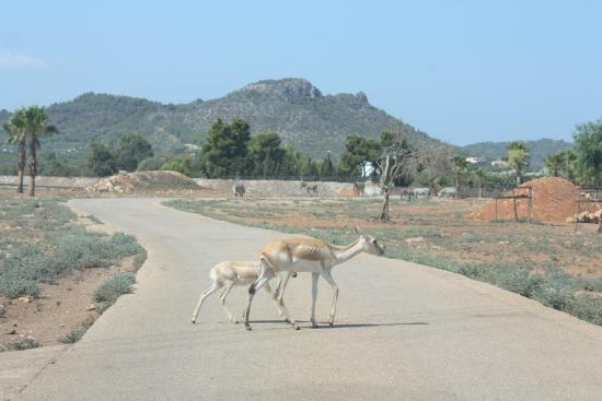 Safari Zoo: Attraversamento fuori dalle striscie