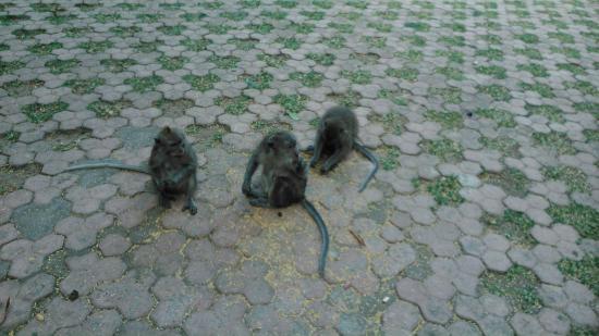 Alas Kedaton: Monos