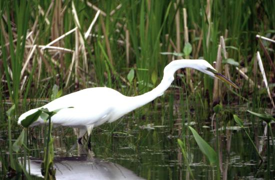 Lakeside, OH: Great Egret