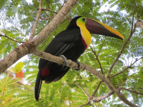 Pura Vida Gardens and Waterfalls : Chestnut-mandibled Toucan
